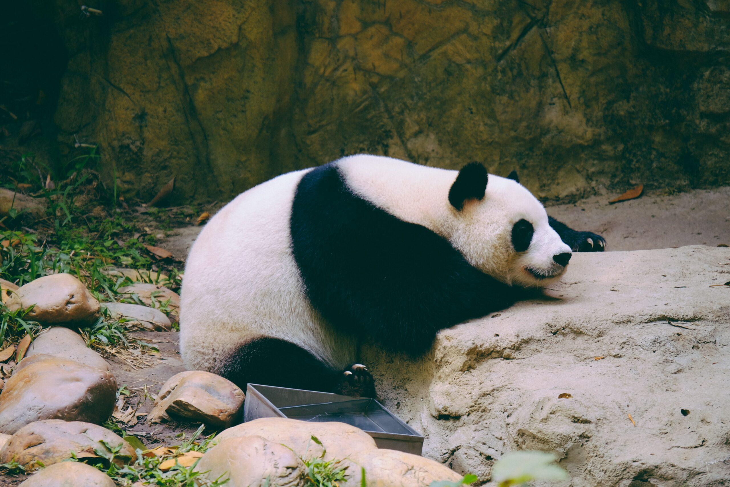 Is de panda eigenlijk een goede investering?